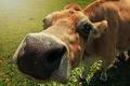 Картинка морда, макро, корова