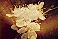 Картинка цветок, весна, пенек, абрикос
