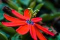 Картинка цветок, макро, пасифлора