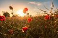 Картинка поле, цветок, красный, мак, бутон