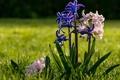Картинка трава, роса, гиацинты