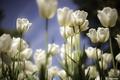 Картинка цветы, весна, тюльпаны, белые