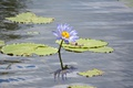 Картинка цветок, лепестки, лист, водоем