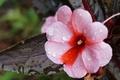 Картинка цветок, капельки, розовый, листик, росинки