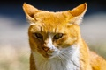 Картинка кот, глаза, рыжий, взгляд