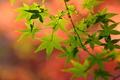 Картинка листья, природа, цвет, ветка, клен