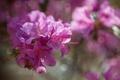 Картинка азалия, розовые, рододендрон, цветы
