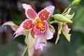 Картинка цветок, Lovely orchid, flower, macro, flowers, макро, цветы