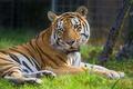 Картинка отдых, трава, хищная кошка, тигр, сибирский
