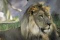 Картинка кошка, взгляд, морда, тень, лев, грива
