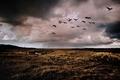 Картинка поле, дождь, забор, утки, ферма, серые облака