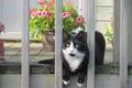 Картинка кот, цветы, забор