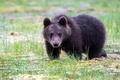 Картинка природа, зверь, Brown Bear