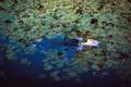 Картинка девушка, озеро, лилии