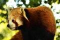 Картинка фон, firefox, мордашка, Красная панда