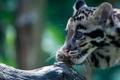 Картинка взгляд, окрас, дикая кошка, дымчатый леопард