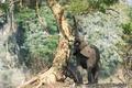 Картинка дерево, Африканский слон, хобот, природа