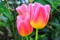Картинка листья, макро, лепестки, тюльпаны