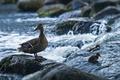 Картинка река, камни, водопад, утята, утка, слизь