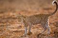 Картинка поле, глаза, леопард, хвост, живая природа