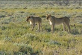 Картинка кошки, Африка, сафари, Namibia, львицы, the Etosha Nation Park