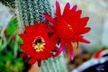 Картинка flower, Цветок, макро, красный