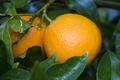 Картинка листья, апельсины, плоды, фрукты