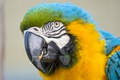 Картинка птица, попугай, ара, ©Tambako The Jaguar