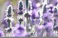 Картинка лето, цветы, природа, лаванда