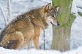 Картинка зима, снег, хищник, волк