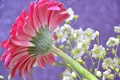 Картинка растение, лепестки, стебель, гербера