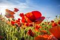 Картинка лето, цветы, природа, маки, красные