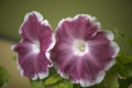 Картинка цветы, вишнево-белая, Петуния