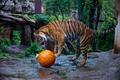 Картинка полоски, дикая кошка, хищник, игра, тигр