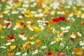 Картинка луг, маки, цветы, трава, поле