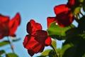 Картинка небо, листья, природа, роза, лепестки