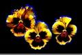 Картинка лепестки, фон, цветы