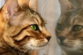 Картинка reflection, fur, feline