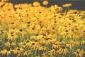 Картинка стебли, лепестки, цветы, поле цветов
