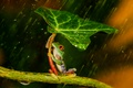 Картинка лист, дождь, лягушка, лапки, зонт, зеленая, rain