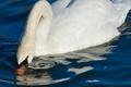 Картинка капли, грация, вода, белый, лебедь