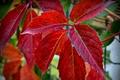 Картинка цвет, растение, листья, осень