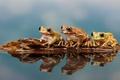 Картинка лес, природа, озеро, лягушки, nature, frog, lake