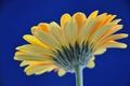 Картинка цветок, небо, лепестки, гербера