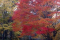 Картинка осень, лес, листья, парк, дерево, клен, багрянец