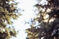 Картинка иголки, ветки, елка, боке