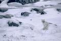 Картинка зима, снег, природа, лиса, песец