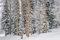 Картинка зима, лес, снег, Winter, сосна, Snow, Forests