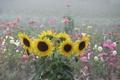 Картинка лето, подсолнухи, цветы