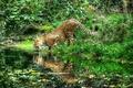 Картинка отражение, река, гепард